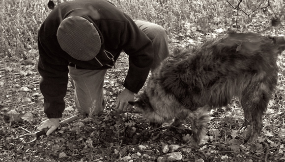 French Truffle Harvesting